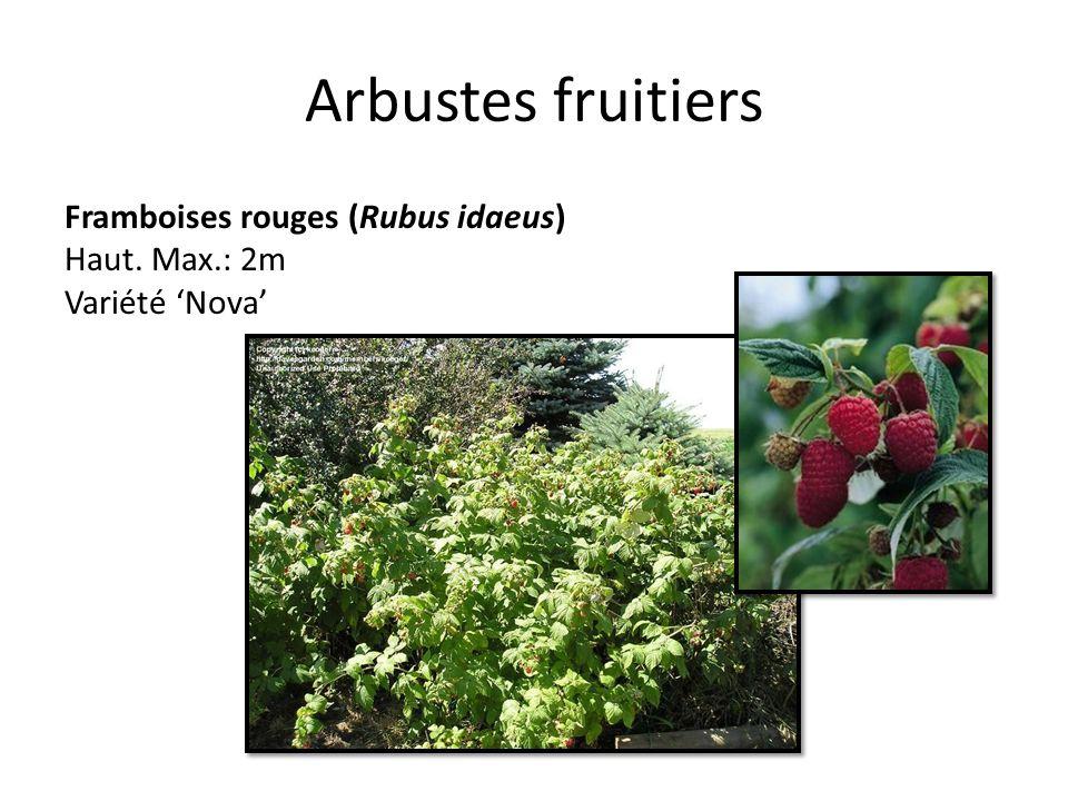 Arbustes fruitiers Framboises rouges (Rubus idaeus) Haut. Max.: 2m Variété Nova
