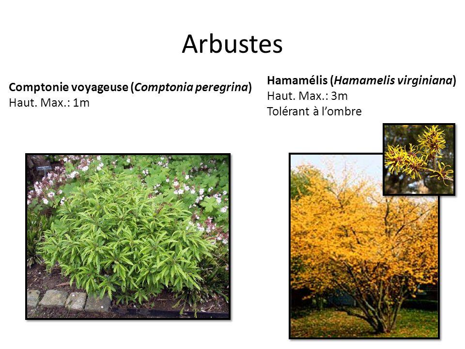 Arbustes Comptonie voyageuse (Comptonia peregrina) Haut. Max.: 1m Hamamélis (Hamamelis virginiana) Haut. Max.: 3m Tolérant à lombre