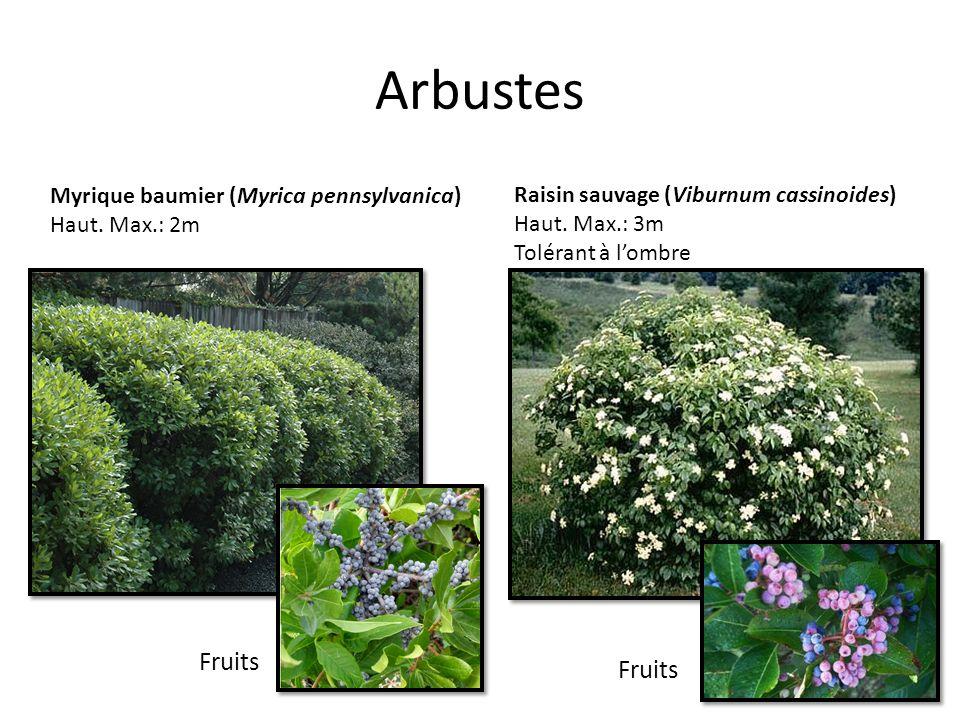 Arbustes Myrique baumier (Myrica pennsylvanica) Haut. Max.: 2m Raisin sauvage (Viburnum cassinoides) Haut. Max.: 3m Tolérant à lombre Fruits