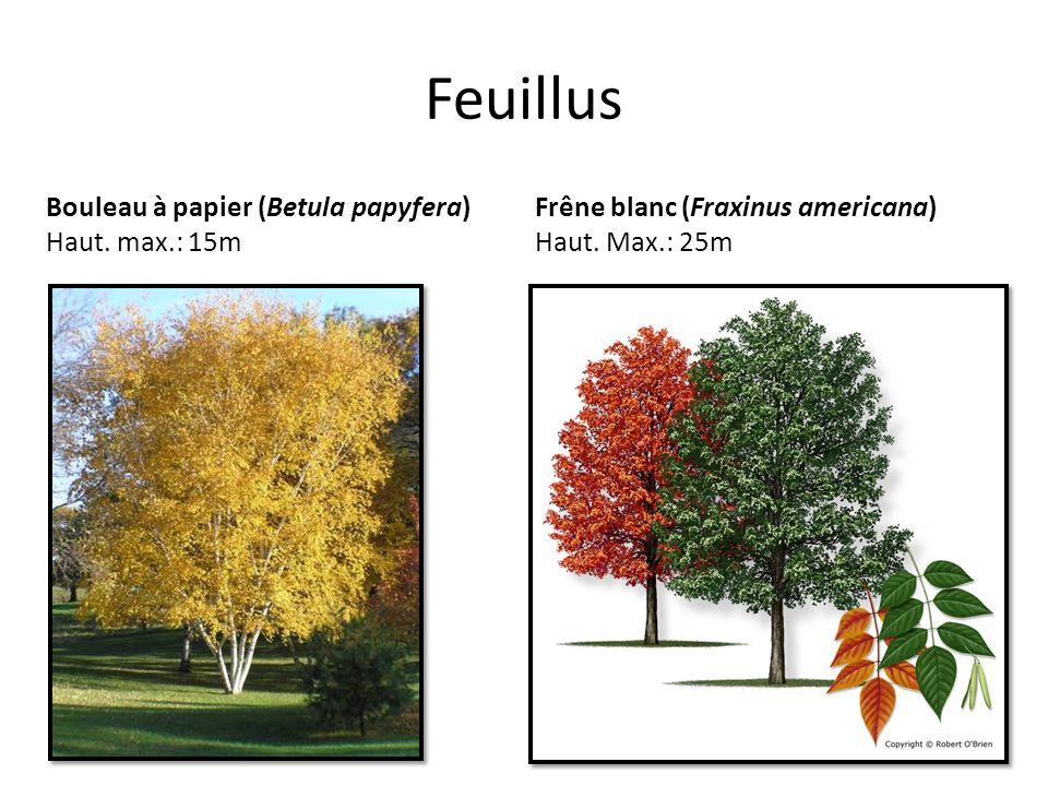 Feuillus Bouleau à papier (Betula papyfera) Haut. max.: 15m Frêne blanc (Fraxinus americana) Haut. Max.: 25m