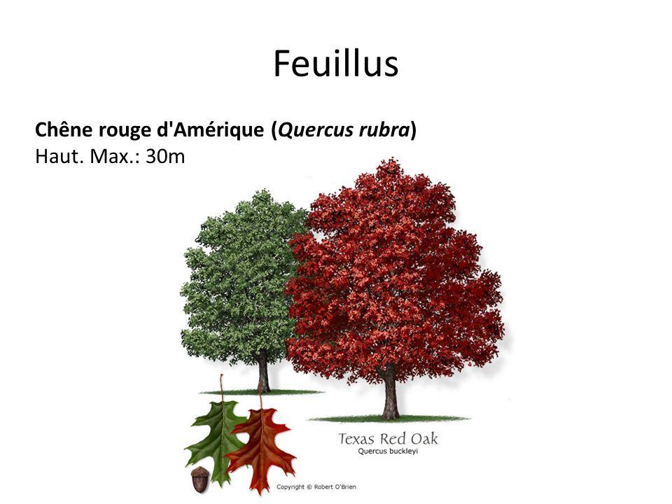 Feuillus Chêne rouge d'Amérique (Quercus rubra) Haut. Max.: 30m