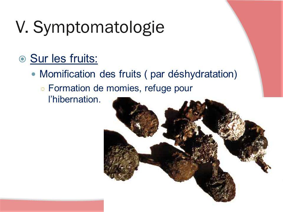 V. Symptomatologie Sur les fruits: Momification des fruits ( par déshydratation) Formation de momies, refuge pour lhibernation.