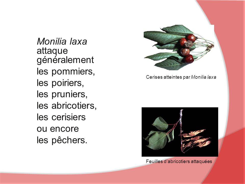 Feuilles dabricotiers attaquées Cerises atteintes par Monilia laxa Monilia laxa attaque généralement les pommiers, les poiriers, les pruniers, les abricotiers, les cerisiers ou encore les pêchers.