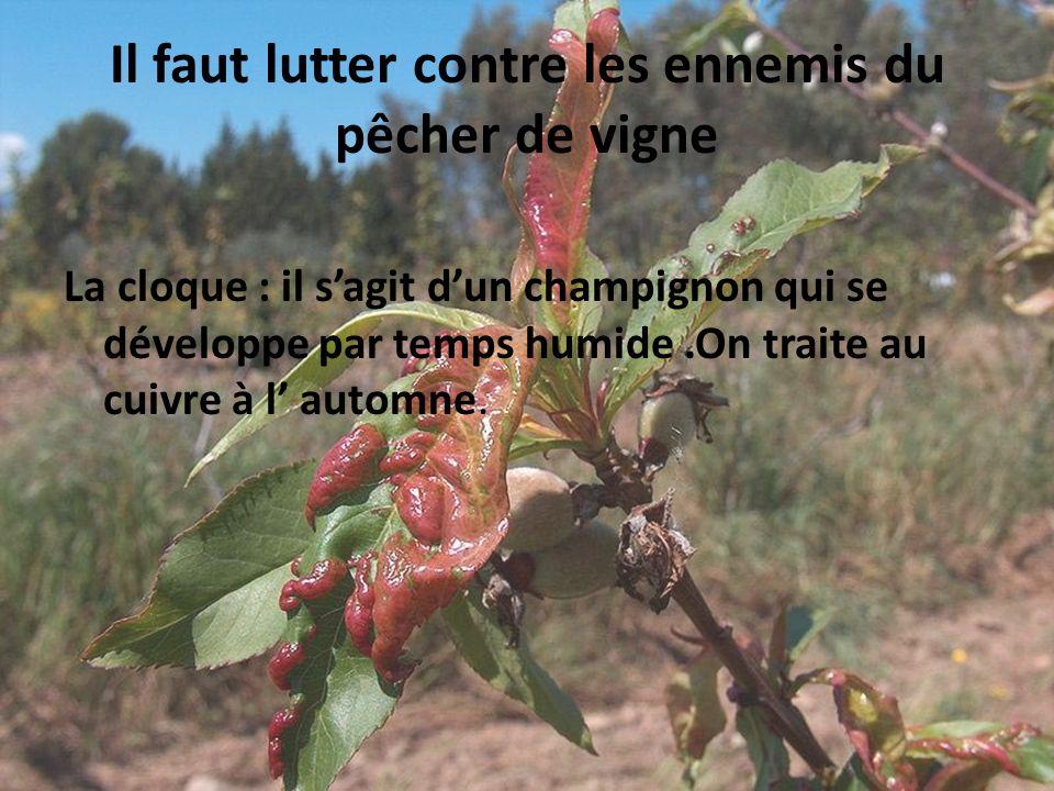 Il faut lutter contre les ennemis du pêcher de vigne La cloque : il sagit dun champignon qui se développe par temps humide.On traite au cuivre à l aut