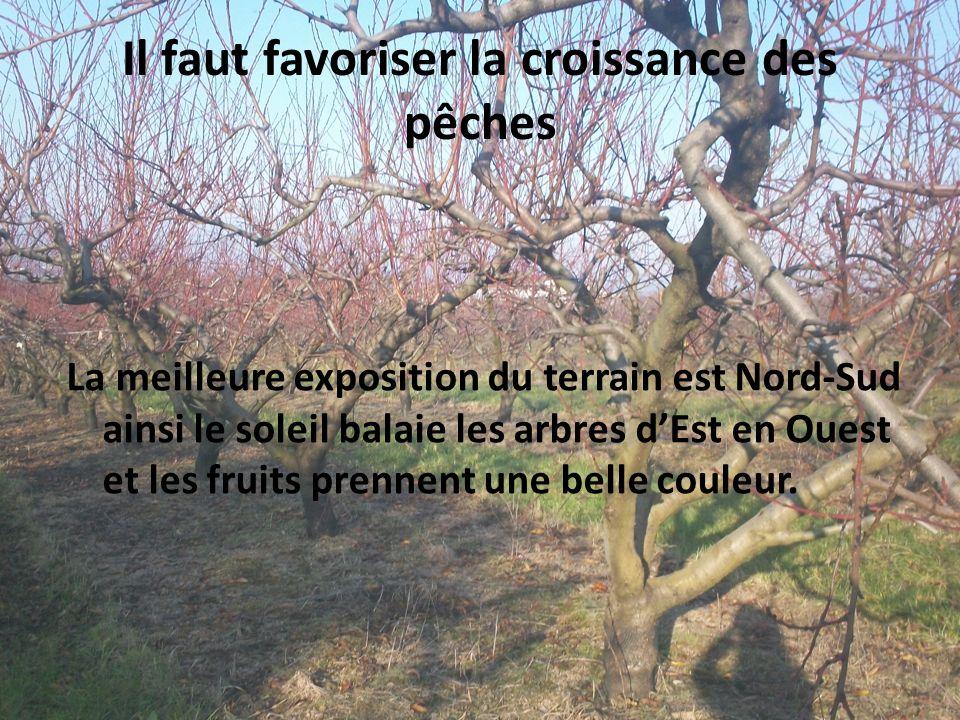 Il faut favoriser la croissance des pêches La meilleure exposition du terrain est Nord-Sud ainsi le soleil balaie les arbres dEst en Ouest et les frui