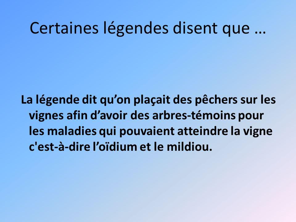 Certaines légendes disent que … La légende dit quon plaçait des pêchers sur les vignes afin davoir des arbres-témoins pour les maladies qui pouvaient