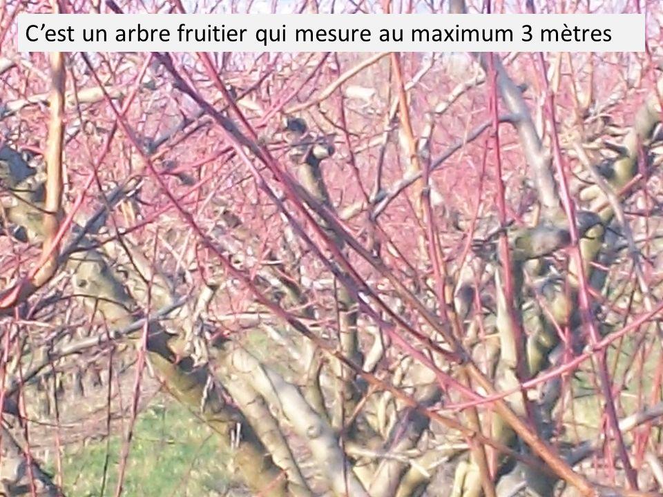 Certaines légendes disent que … La légende dit quon plaçait des pêchers sur les vignes afin davoir des arbres-témoins pour les maladies qui pouvaient atteindre la vigne c est-à-dire loïdium et le mildiou.