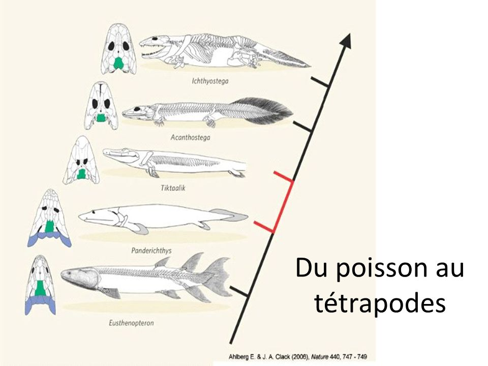 Du poisson au tétrapodes