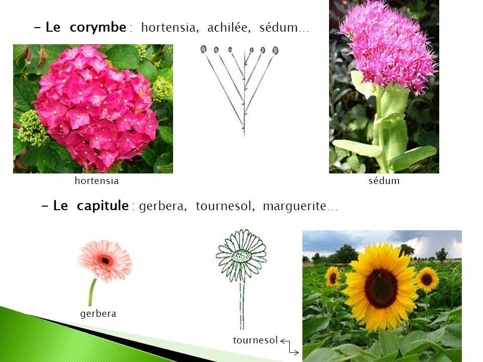- Le corymbe : hortensia, achilée, sédum… - Le capitule : gerbera, tournesol, marguerite… hortensiasédum tournesol gerbera