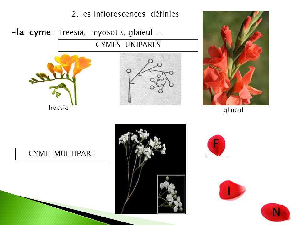 2. les inflorescences définies -l-la cyme : freesia, myosotis, glaieul … CYMES UNIPARES CYME MULTIPARE F I N glaieul freesia