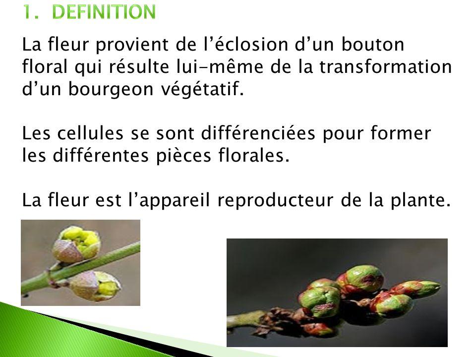 La fleur provient de léclosion dun bouton floral qui résulte lui-même de la transformation dun bourgeon végétatif. Les cellules se sont différenciées