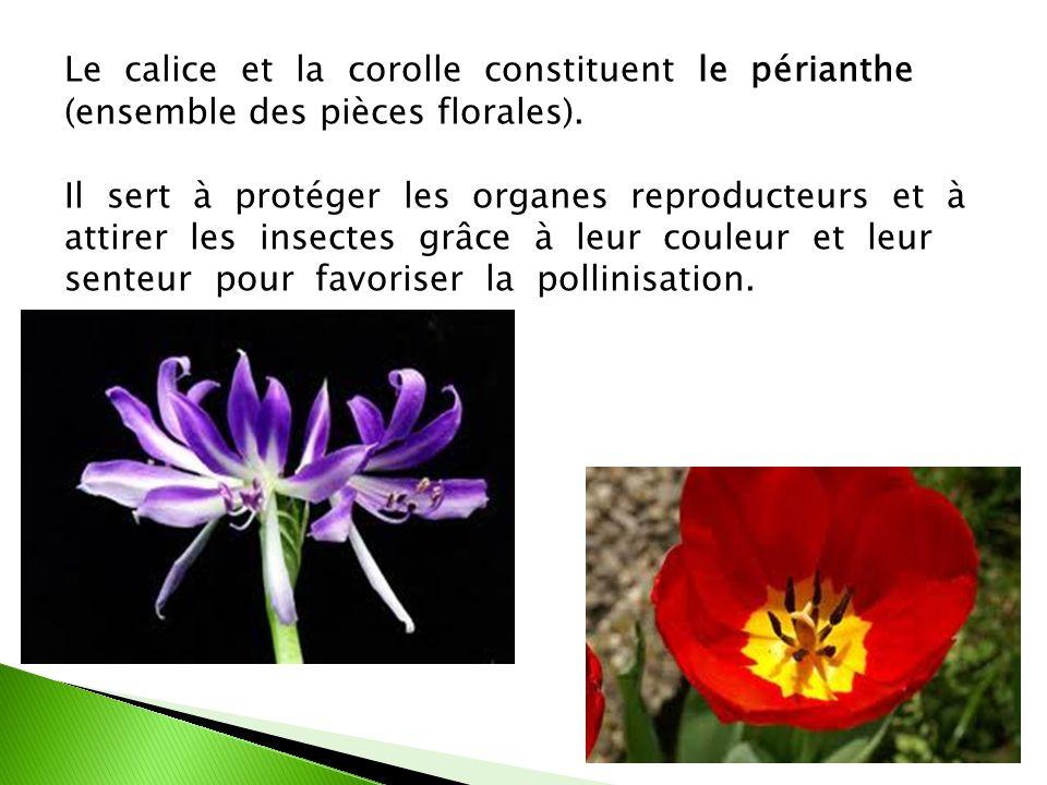 Le calice et la corolle constituent le périanthe (ensemble des pièces florales). Il sert à protéger les organes reproducteurs et à attirer les insecte