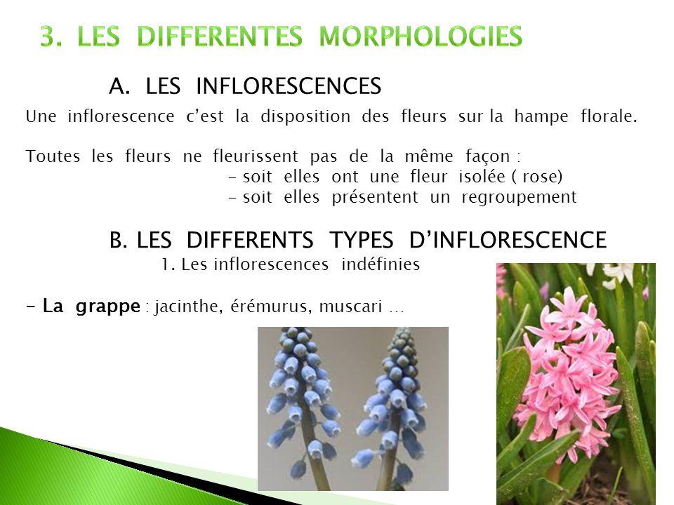 A. LES INFLORESCENCES Une inflorescence cest la disposition des fleurs sur la hampe florale. Toutes les fleurs ne fleurissent pas de la même façon : -