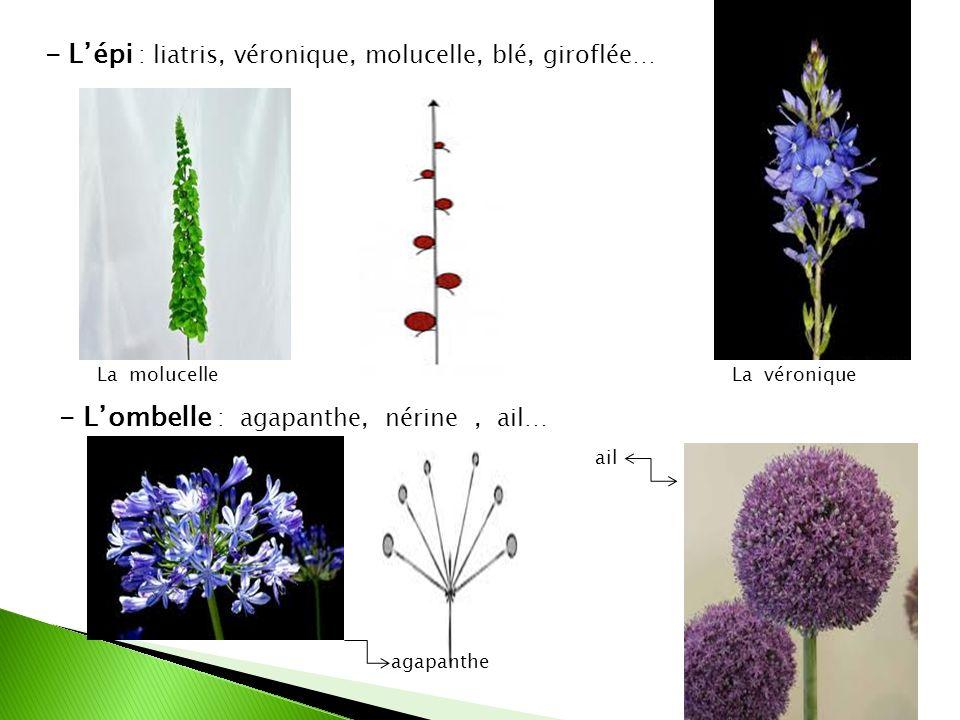 - Lépi : liatris, véronique, molucelle, blé, giroflée… - Lombelle : agapanthe, nérine, ail… La véroniqueLa molucelle agapanthe ail