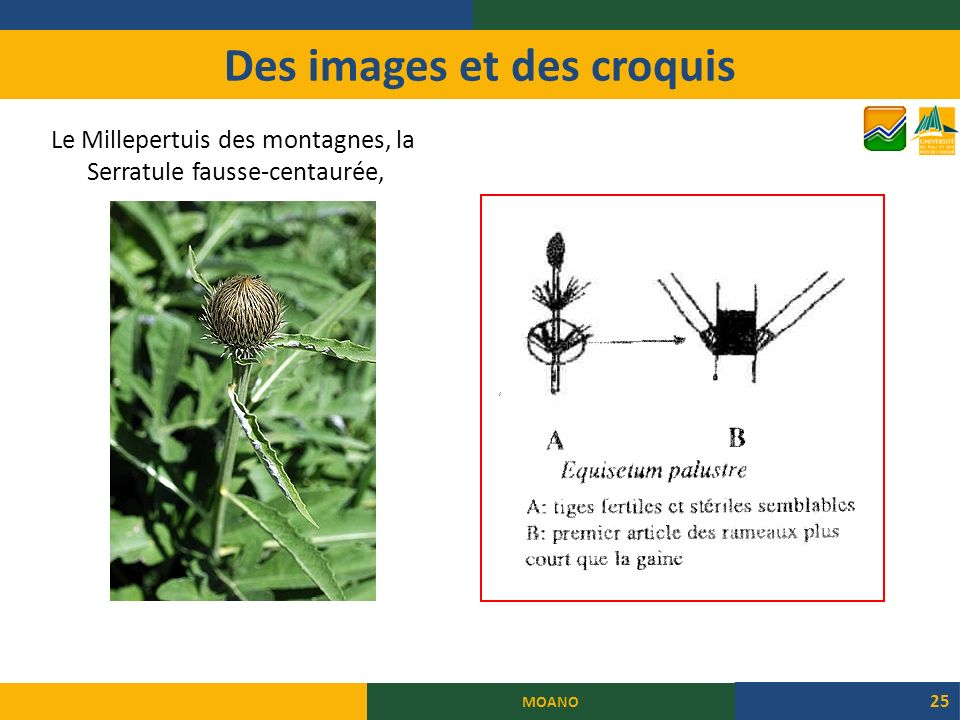 Des images et des croquis Le Millepertuis des montagnes, la Serratule fausse-centaurée, MOANO 25