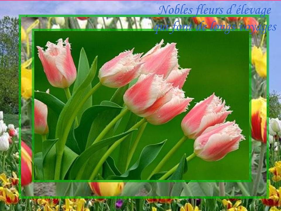 Nobles fleurs délevage qui font de longs voyages