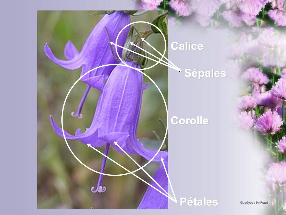 Pétales Corolle Sépales Calice