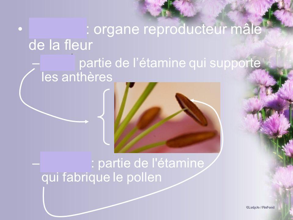Étamine: organe reproducteur mâle de la fleur –Filet : partie de létamine qui supporte les anthères –Anthère: partie de l'étamine qui fabrique le poll
