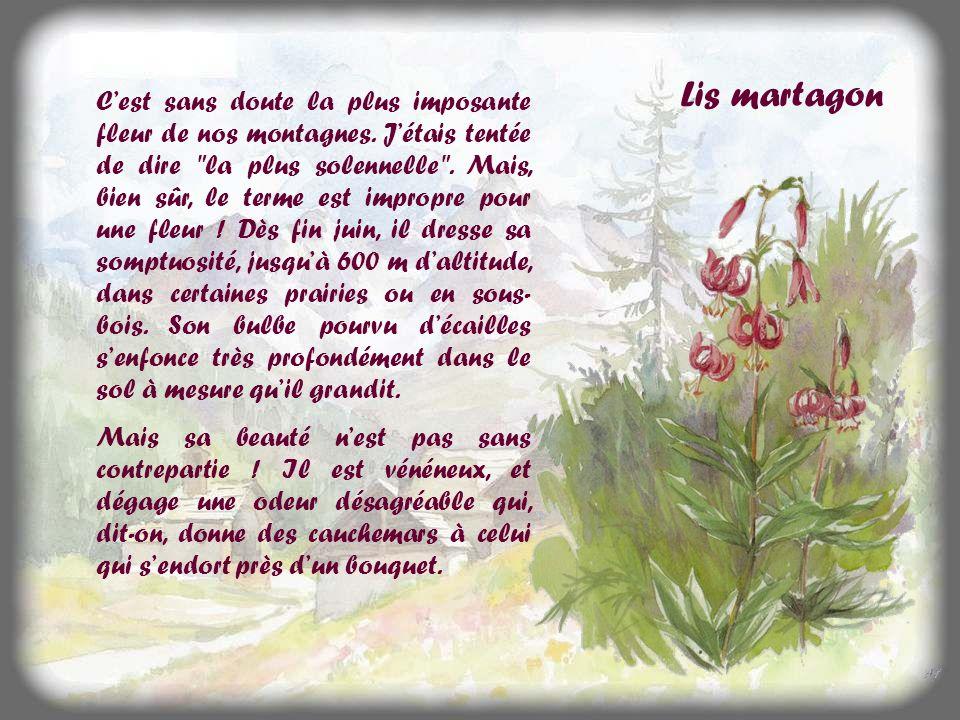 Le lis de Saint-Bruno Toutes les fleurs ne sont pas aussi discrètes .