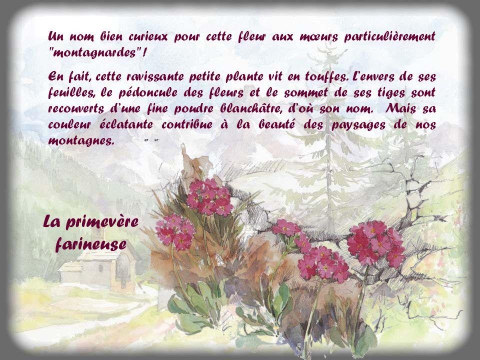 La primevère farineuse Un nom bien curieux pour cette fleur aux mœurs particulièrement montagnardes .