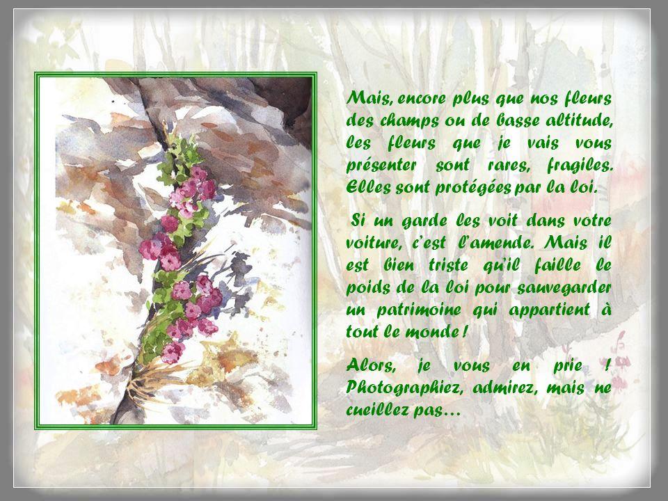 Eritriche nain ou roi des Alpes Ce myosotis nain aime laltitude, car on peut le trouver jusquà 3 750 m daltitude, accroché dans une fissure ou une cavité rocheuse.
