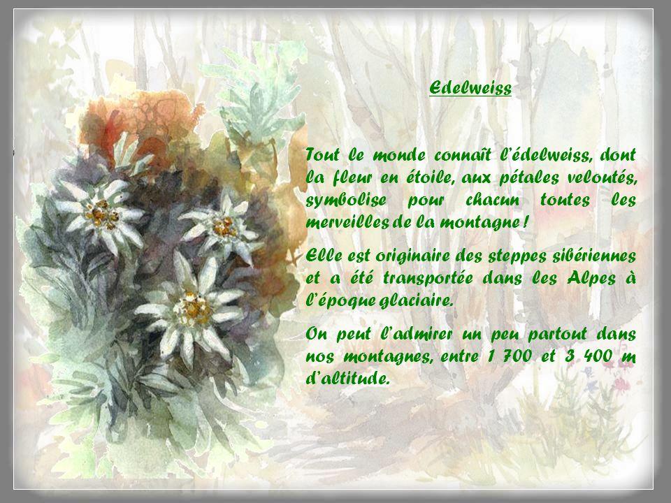Edelweiss Tout le monde connaît lédelweiss, dont la fleur en étoile, aux pétales veloutés, symbolise pour chacun toutes les merveilles de la montagne .