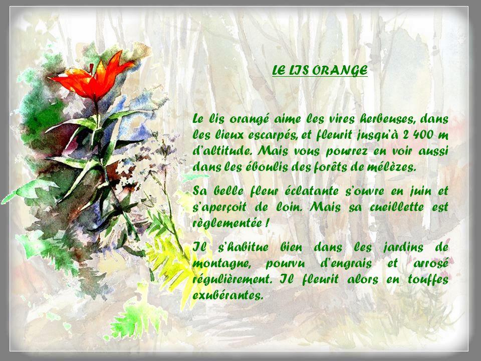 LE LIS ORANGE Le lis orangé aime les vires herbeuses, dans les lieux escarpés, et fleurit jusquà 2 400 m daltitude.