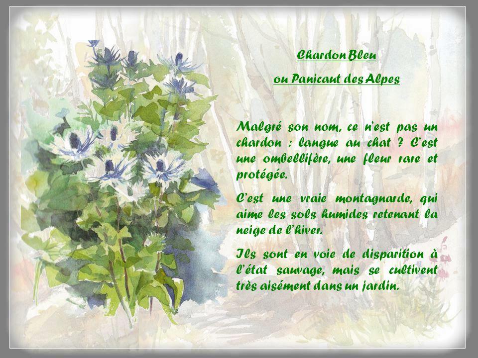 Lancolie des Alpes Attention .