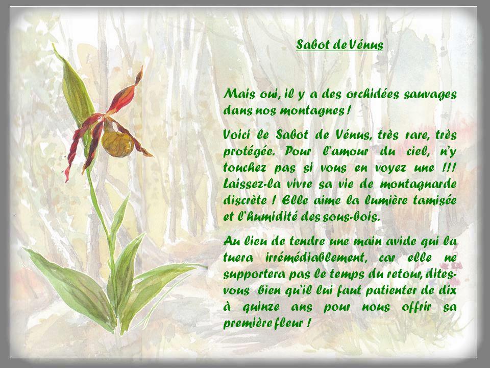Sabot de Vénus Mais oui, il y a des orchidées sauvages dans nos montagnes .