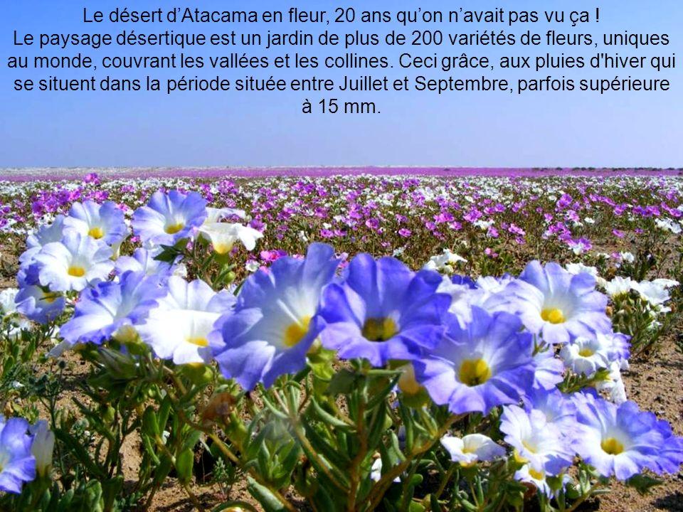 Le désert dAtacama en fleur, 20 ans quon navait pas vu ça .