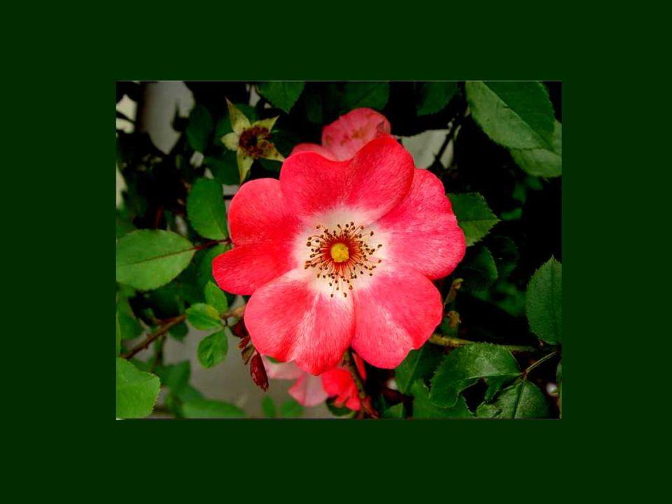 Lamour et les fleurs ont ceci en commun quils ne durent quun printemps. Pierre de Ronsard