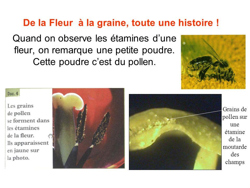 De la Fleur à la graine, toute une histoire ! Quand on observe les étamines dune fleur, on remarque une petite poudre. Cette poudre cest du pollen. Gr
