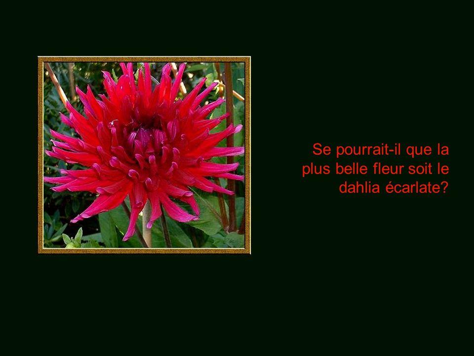 Se pourrait-il que la plus belle fleur soit le dahlia écarlate?