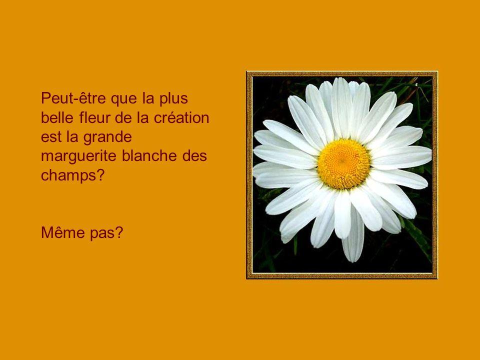 Peut-être que la plus belle fleur de la création est la grande marguerite blanche des champs? Même pas?