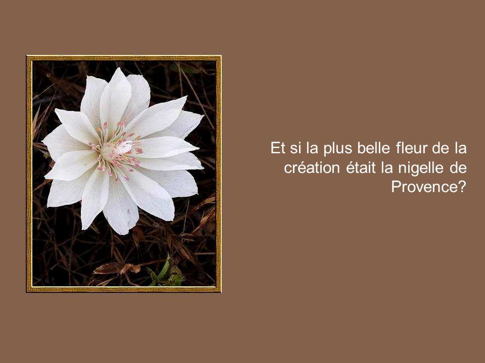 Et si la plus belle fleur de la création était la nigelle de Provence?