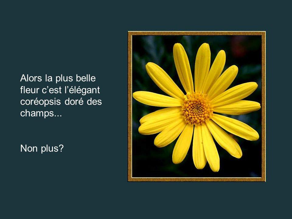 Alors la plus belle fleur cest lélégant coréopsis doré des champs... Non plus?