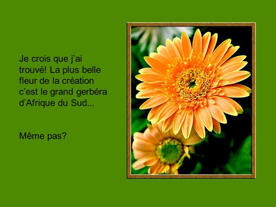 Je crois que jai trouvé! La plus belle fleur de la création cest le grand gerbéra dAfrique du Sud... Même pas?