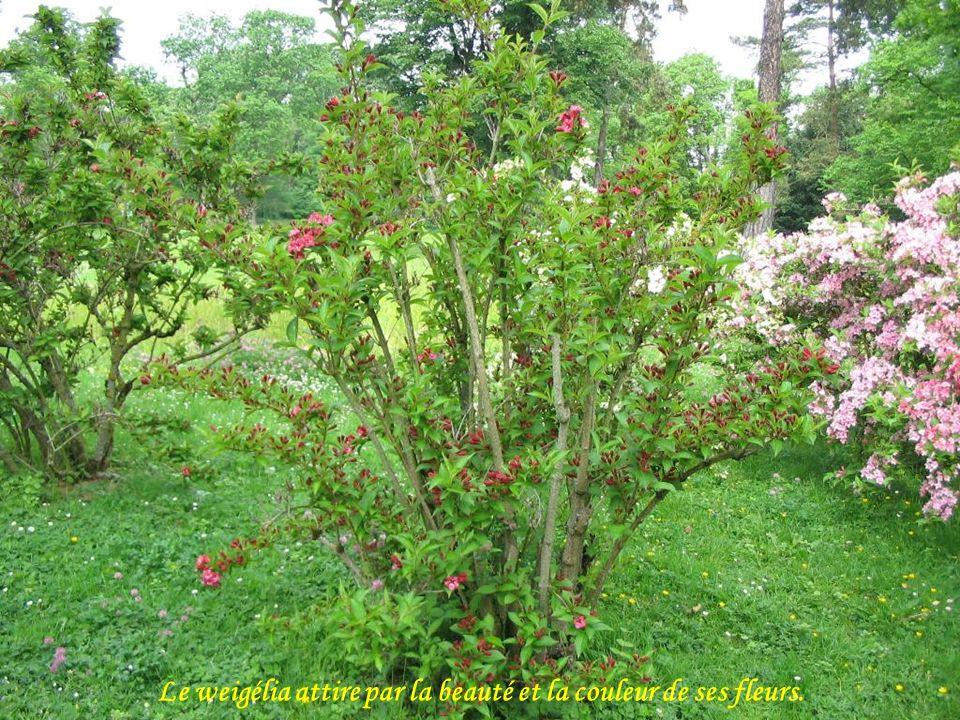 Les azalées comptent parmi les plus beaux arbustes d ornement.