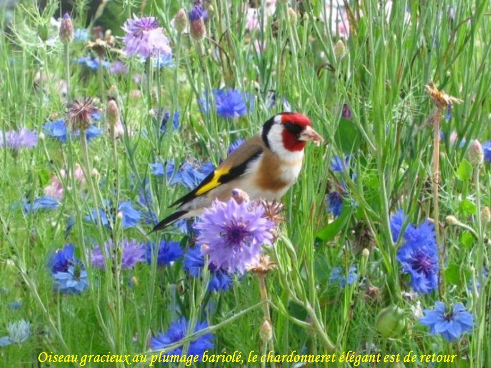 Le weigélia attire par la beauté et la couleur de ses fleurs.