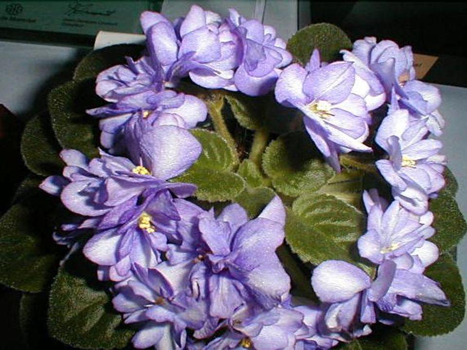 Le violet exprime la délicatesse Et la profondeur des sentiments. On enverra des fleurs violettes Pour rappeler à la personne aimée Que lon pense à el