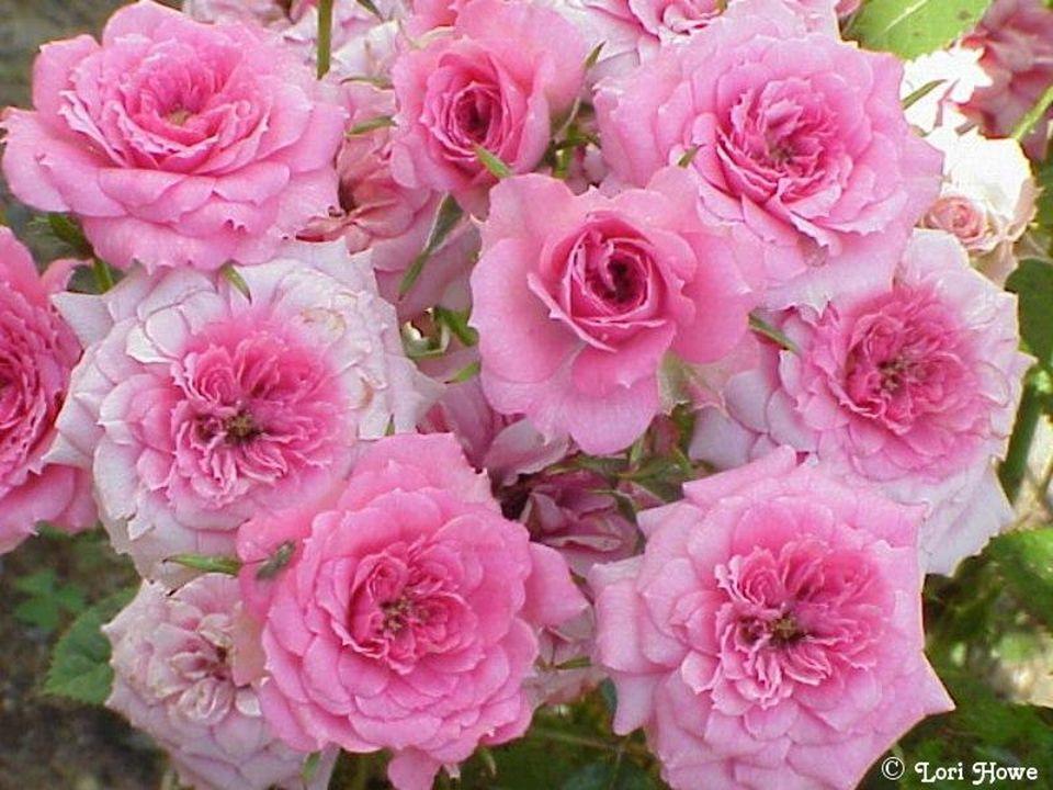 Le rose évoque la douceur et la tendresse. On enverra des fleurs roses pour exprimer Son amitié ou son amour tendre.