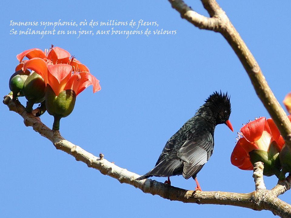 Immense symphonie, où des millions de fleurs, Se mélangent en un jour, aux bourgeons de velours