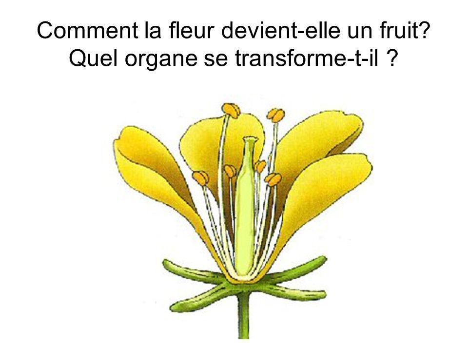 Comment la fleur devient-elle un fruit? Quel organe se transforme-t-il ?