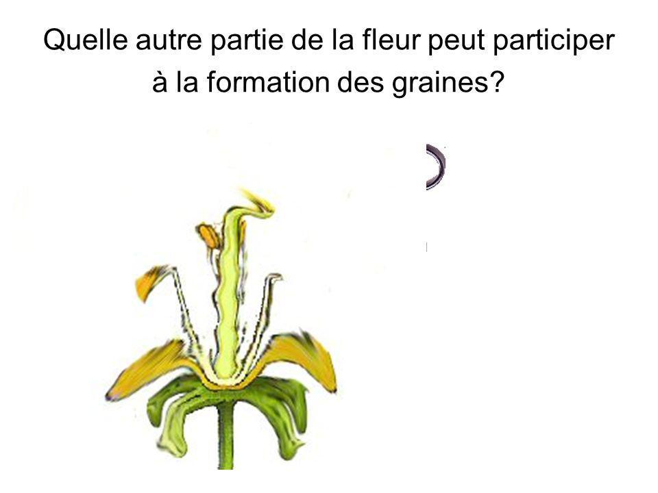 Quelle autre partie de la fleur peut participer à la formation des graines.