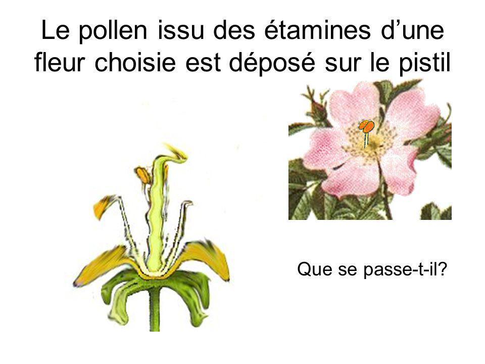 Le pollen issu des étamines dune fleur choisie est déposé sur le pistil Que se passe-t-il?