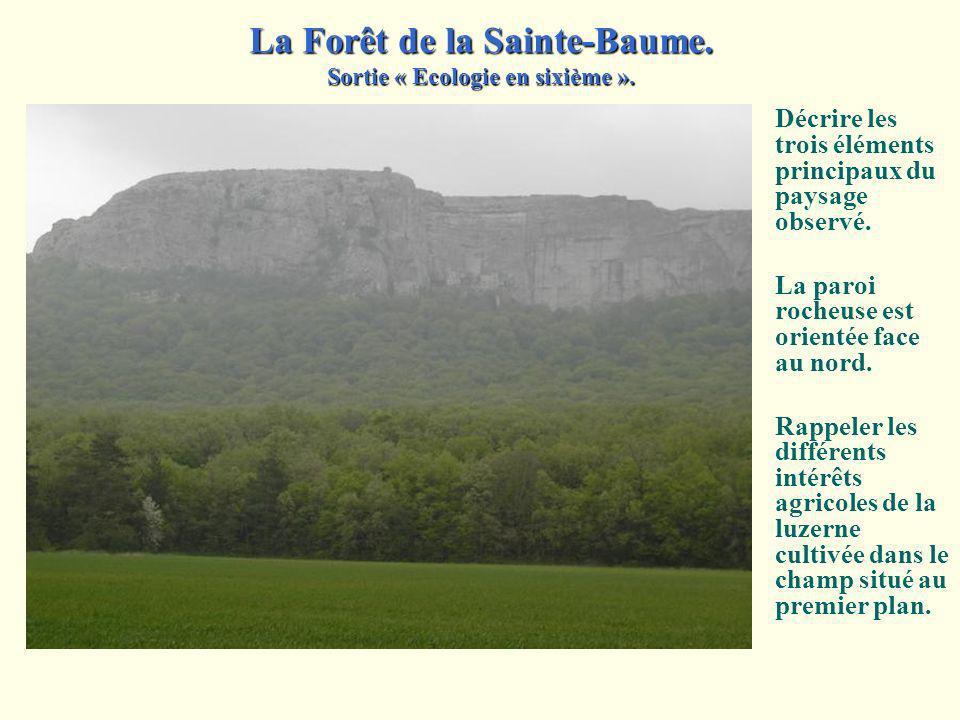 La Forêt de la Sainte-Baume. Sortie « Ecologie en sixième ». Arrivée sur le site, au Plan d'Aups. La végétation n'est pas celle de la garrigue observé