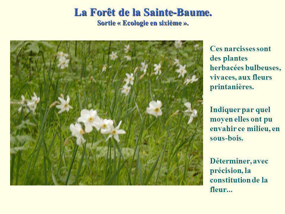 Ces narcisses sont des plantes herbacées bulbeuses, vivaces, aux fleurs printanières.