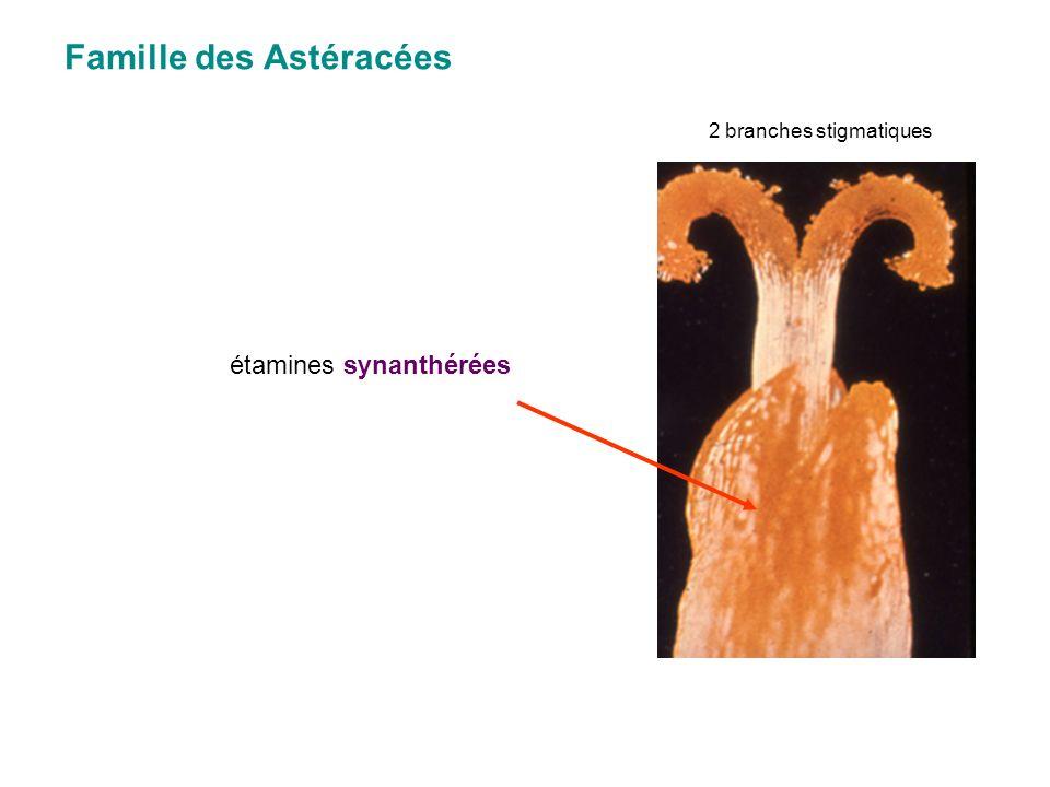 Famille des Astéracées étamines synanthérées 2 branches stigmatiques