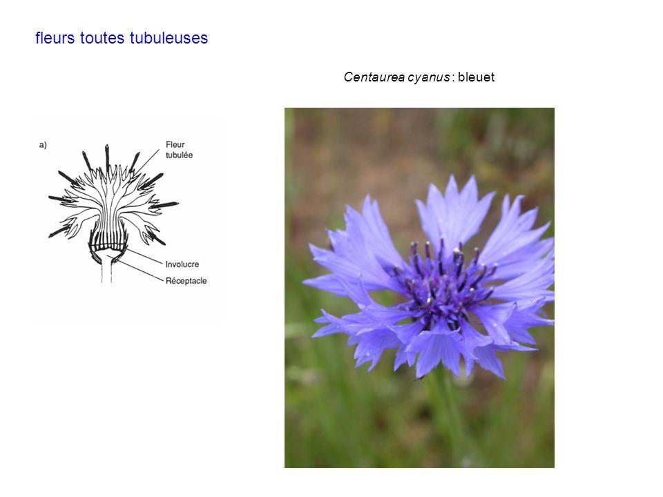 Centaurea cyanus : bleuet fleurs toutes tubuleuses