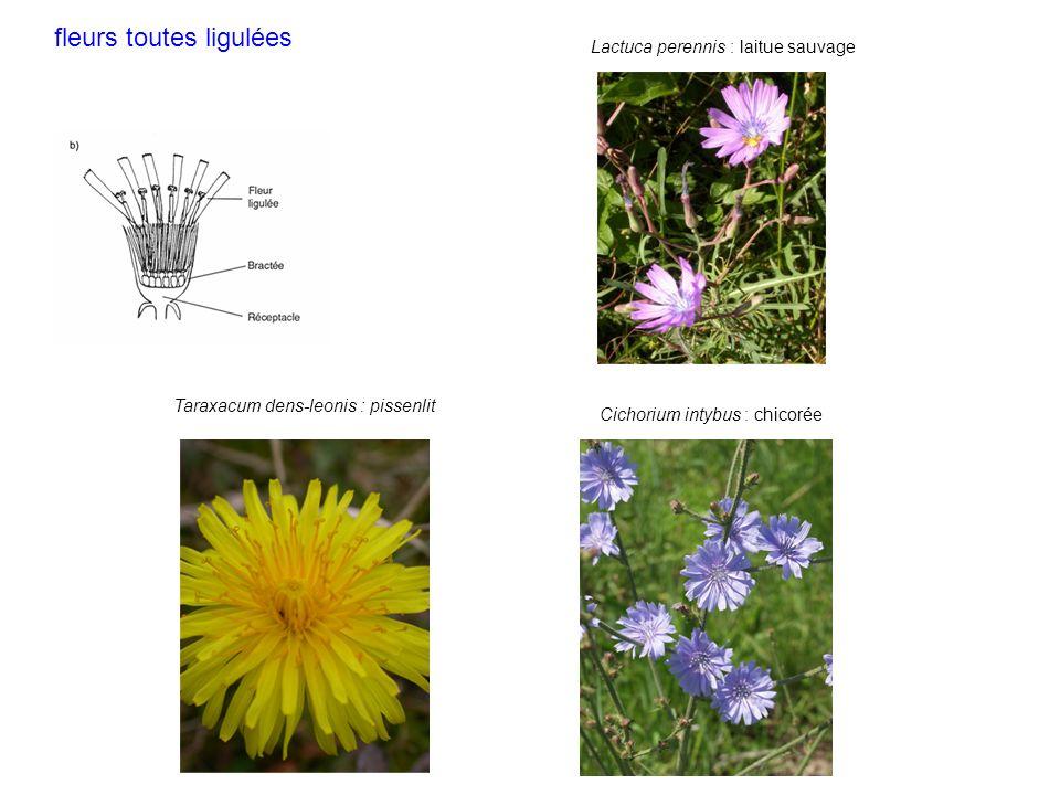 Taraxacum dens-leonis : pissenlit Cichorium intybus : chicorée Lactuca perennis : laitue sauvage fleurs toutes ligulées